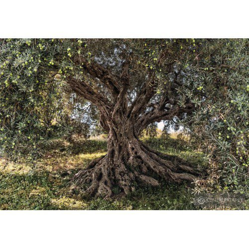 Fototapeta Olive Tree - National Geographic 8-531