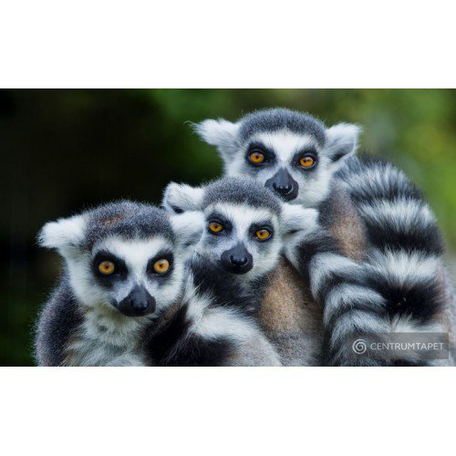 Fototapeta 3619 Lemury