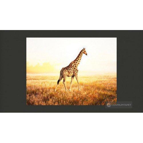 Fototapeta Żyrafa - spacer...