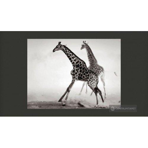 Fototapeta Żyrafy 100403-212
