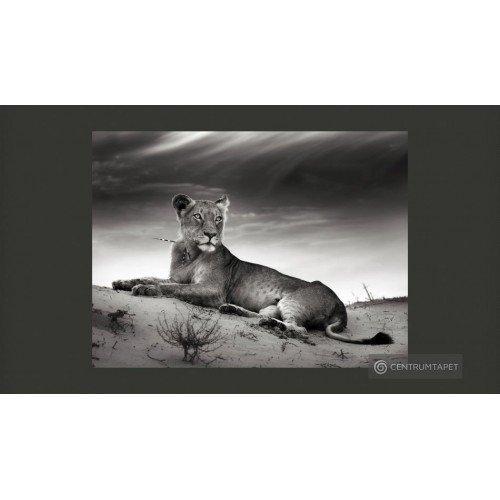 Fototapeta Lwica w czerni i...