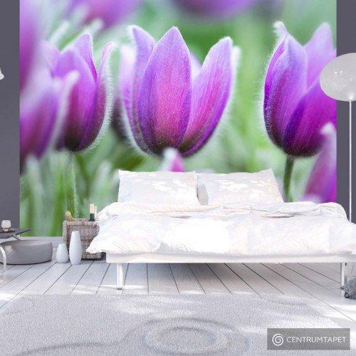 Fototapeta Fioletowe wiosenne tulipany 100406-120