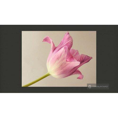 Fototapeta Pink tulip...