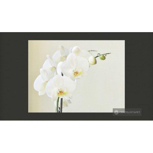 Fototapeta Biała orchidea...