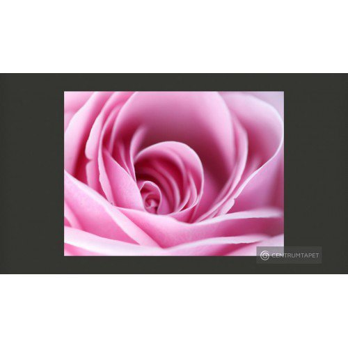 Fototapeta Różowa róża...