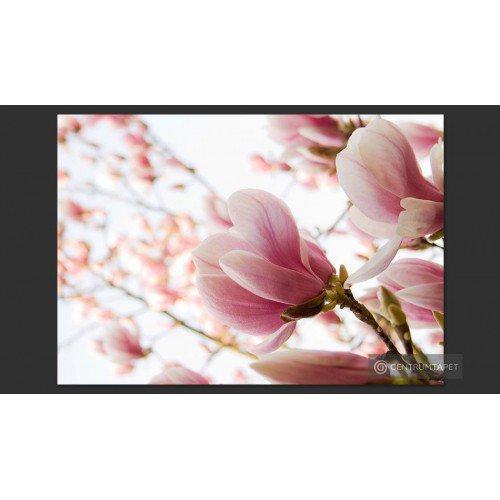 Fototapeta Różowa magnolia...