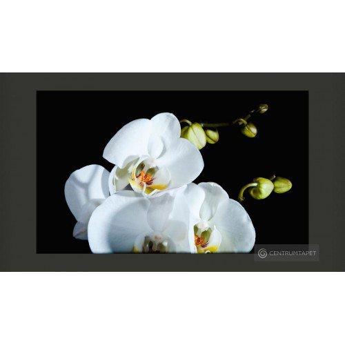 Fototapeta Phalaenopsis...