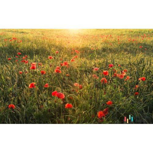 Fototapeta SHX9-071 Poppy World I